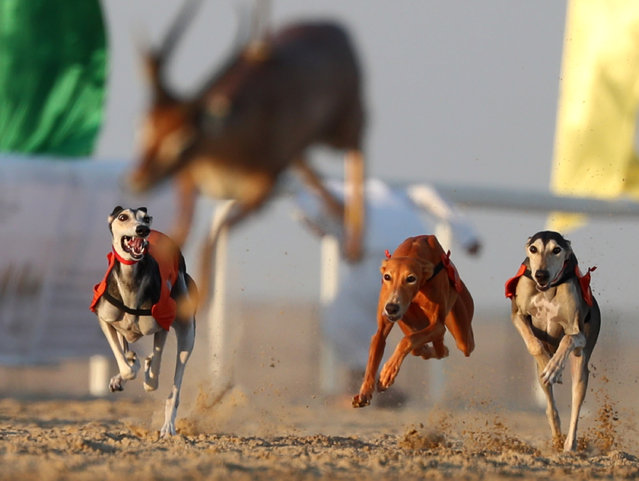 Arabian Saluki dogs chase a lure during a race at the Mazayin Dhafra Camel Festival in the desert near the city of Madinat Zayed, 150 kms west of Abu Dhabi, on December 26, 2017. The festival, which attracts participants from around the Gulf region, includes a camel beauty contest, a display of UAE handcrafts and other activities aimed at promoting the country's folklore. (Photo by Karim Sahib/AFP Photo)
