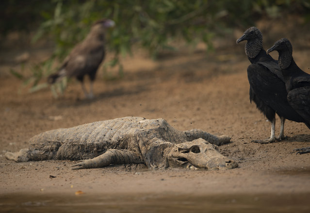 Vultures stand next to the carcass of a alligator on the banks of the Cuiaba river at the Encontro das Aguas Park in the Pantanal wetlands near Pocone, Mato Grosso state, Brazil, Saturday, September 12, 2020. (Photo by Andre Penner/AP Photo)