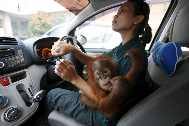 A baby orangutan clings to a wildlife department official shortly before she puts him into a transportation pen to make the journey back to Sumatra, in Kuala Lumpur, Malaysia, October 19, 2015. (Photo by Olivia Harris/Reuters)
