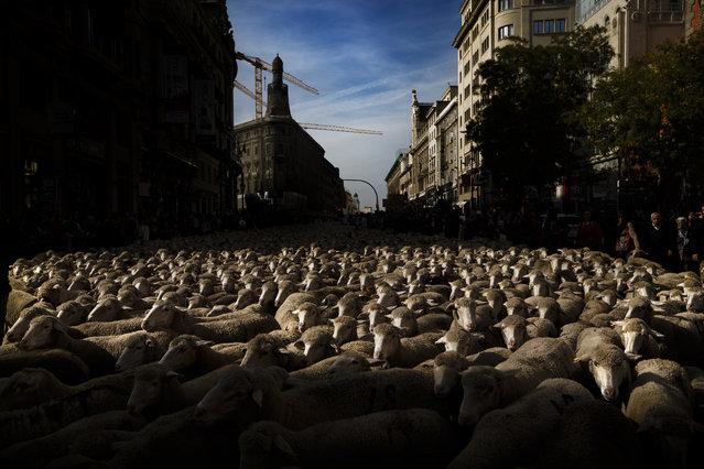 Shepherds lead their sheep through the centre of  in Madrid, Spain, Sunday, October 25, 2015. (Photo by Daniel Ochoa de Olza/AP Photo)