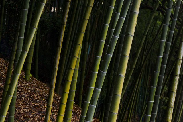 A bamboo forest is pictured behind Suntory Holdings' Yamazaki Distillery in Shimamoto town, Osaka prefecture, near Kyoto, December 1, 2014. (Photo by Thomas Peter/Reuters)