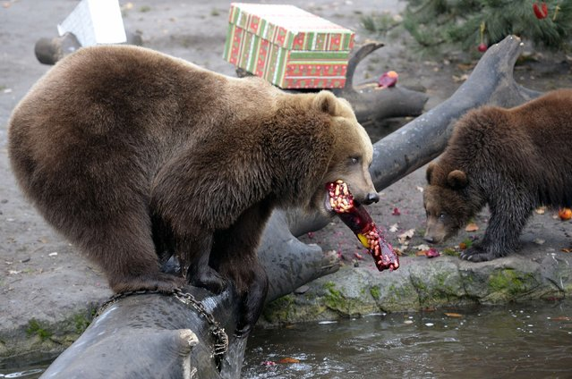 Kamchatka Brown Bear Mascha and one of her three cubs eat frozen fruits during a Christmas feeding session at Hagenbecks zoo in Hamburg, northern Germany on December 5, 2014. (Photo by Fabian Bimmer/Reuters)