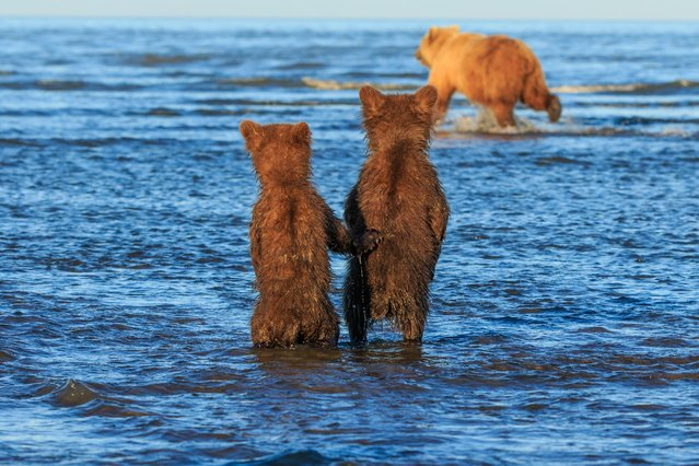 This is the incredible moment two bear cubs held hands in hope for some dinner as they watched their mother hunt for dinner in a stream. Lewis Kemper, 62, was leading a photography tour in Lake Clark National Park in Alaska when the group spotted the animals and couldn't resist snapping a few pictures of them. The pictures show the two cubs stood side-by-side as the smaller one paws at the bigger sibling's back while they stare intently in the direction of their mum. Then one incredible captures the moment the bears appear to hold hands as their mother hunts for salmon around the lake. (Photo by Lewis Kemper/Mercury Press)
