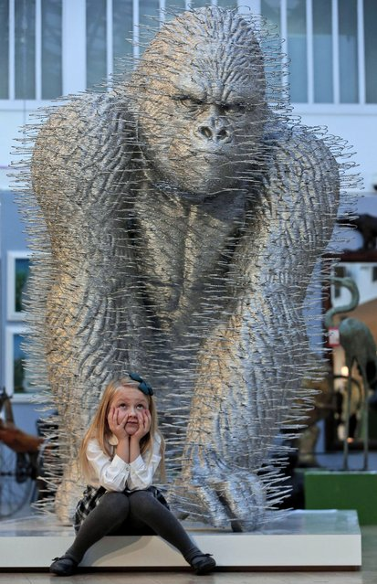 """A girl sits under an art installation depicting a gorilla entitled """"Silver Back"""" by artist David Mach, as she poses for the photographers during a press preview of a themed auction that features the animal as artistic inspiration, entitled """"Creatures Great and Small"""", in London, Monday, December 15, 2014. The two-meter tall gorilla by the Turner Prize nominated artist is the third of an edition of three, the first of which holds the Guinness World Record for the largest art installation made entirely from coat hangers. (Photo by Lefteris Pitarakis/AP Photo)"""