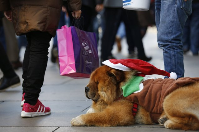 """Shoppers pass """"Shrek"""", a Chow Chow dog raising money for the RSPCA (Royal Society for the Prevention of Cruelty to Animals), on Oxford street during the final weekend of shopping before Christmas in London December 20, 2014. (Photo by Luke MacGregor/Reuters)"""