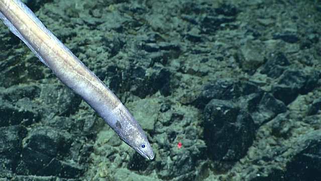 This June 27, 2016 image made available by NOAA shows a cutthroat eel at 3,145 meters (1.9 miles) deep on Stegasaurus Ridge, during a deepwater exploration of the Marianas Trench Marine National Monument area in the Pacific Ocean near Guam and Saipan. The eels are abundant in the deep ocean and active day and night. (Photo by NOAA Office of Ocean Exploration and Research via AP Photo)