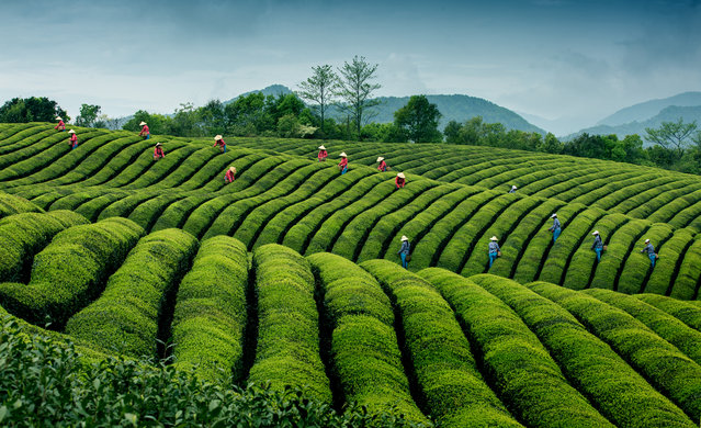 """""""Ripples in tea, China"""". Harvest time ay a high-quality, ecological tea plantation in Jinlu village in China's Zhejiang province. Honourable mention: Travel. (Photo by Hong Ding/SIPA Contest)"""
