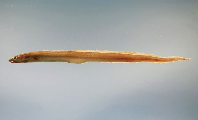 The conger, a type of marine eel that can grow up to 10 feet in length. Some believe that this may be what the mysterious creature actually is. (Photo By Wikimedia Commons)