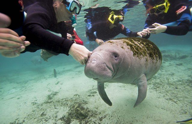 Snorkelers interact with a Florida Manatee inside of the Three Sisters Springs in Crystal River, Florida January 15, 2015. On winter days, Florida manatees flock by the hundreds to the balmy waters of Three Sisters Springs, drawing crowds of snorkelers and kayakers to the U.S. sanctuary, where people may swim with the endangered species. (Photo by Scott Audette/Reuters)