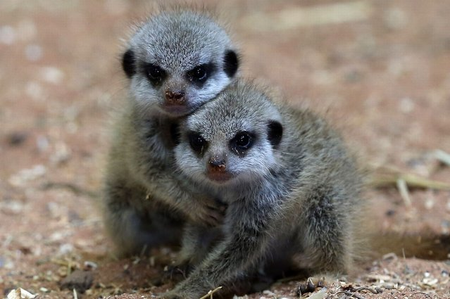 Two of the three recently arrived baby meerkats, play together in their enclosure at Bristol Zoo Gardens, on July 25, 2013. (Photo by Matt Cardy/Getty Images)