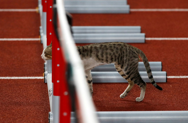 A cat wonders onto the track prior to the start of the womens 100 m hurdle heats during the athletics competition at the 18 th Asian Games in Jakarta, Indonesia, Saturday, August 25, 2018. (Photo by Issei Kato/Reuters)