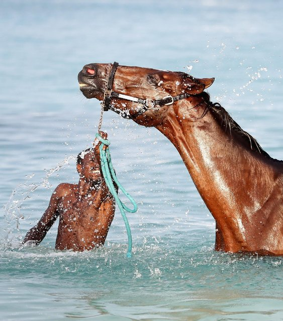 Horses from the Garrison Savannah (who are involved in 50 years of Independence celebrations today) are washed in the sea first thing in the morning on December 1, 2016 in  Bridgetown, Barbados. Prince Harry is visiting the Caribbean marking the 35th Anniversary of Independence in Antigua and Barbuda and the 50th Anniversary of Independence in Barbados and Guyana. (Photo by Chris Jackson/Getty Images)