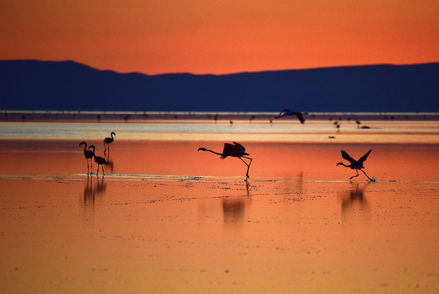Flamingos take off from Lake Tuz during their incubation period in Aksaray, Turkey on August 15, 2018. (Photo by Murat Oner Tas/Anadolu Agency/Getty Images)