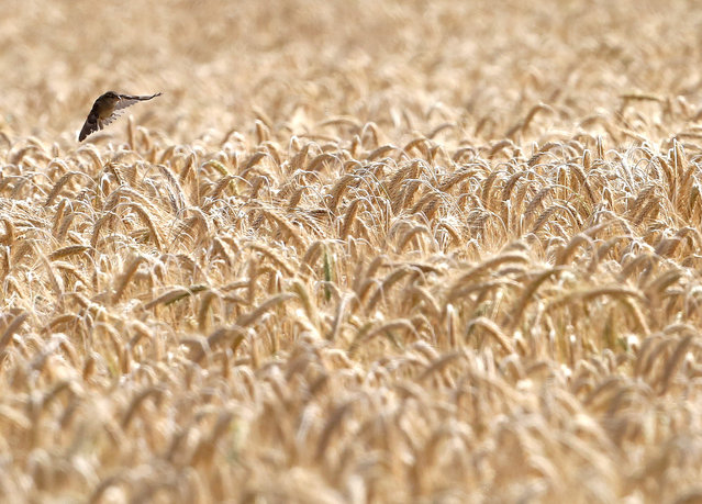 A house sparrow flies to the ripe ears of a barley field in Essen, Germany on July 6, 2020. As well as insects and their larvae, the sociable birds also eat grain, which is available here in abundance. (Photo by Roland Weihrauch/dpa)