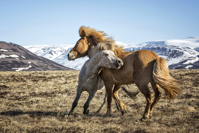 Two horses play with each other. (Photo by Bragi J. Ingibergsson/Caters News)