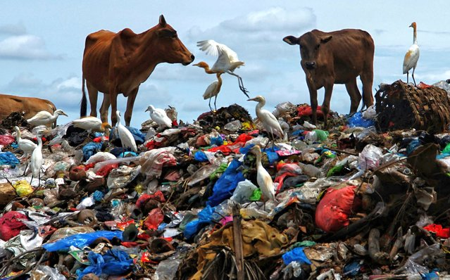 Cows and seagulls feed on trash collected after the Eid al-Fitr holidays, at the Alue Liem landfill in Lhokseumawe, Aceh on May 17, 2021. (Photo by Azwar Ipank/AFP Photo)