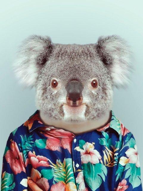 Koala in a Hawaiian shirt. (Photo by Yago Partal/Barcroft Media)