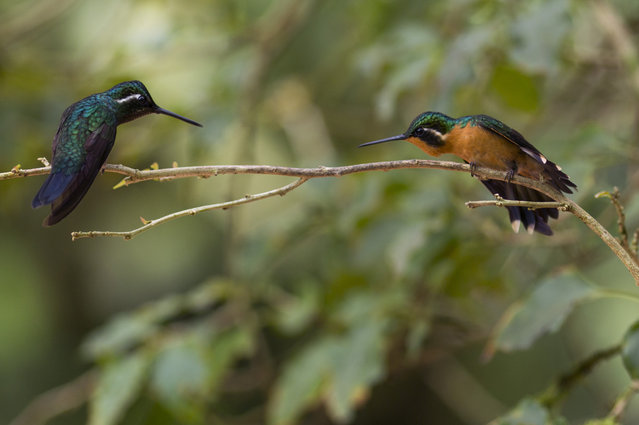 A male and female Purple Throated Mountain Gem are pictured near a Hummingbird feeding station on January 15, 2016 in Alajuela, Costa Rica. (Photo by Dan Kitwood/Getty Images)