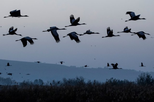 A picture taken on December 07, 2016 shows Gray Cranes flocking at the Agamon Hula Lake in the Hula valley in northern Israel. More than half a billion birds of some 400 different species pass through the Jordan Valley to Africa and go back to Europe during the year. Some 42,500 Gray Cranes stayed this winter in the Agamon Hula Lake instead of migrating to Africa, taking advantage of the safety of this artificial water source. Local farmers feed the birds with corn in a bid to prevent them from destroying their agricultural fields. (Photo by Jack Guez/AFP Photo)