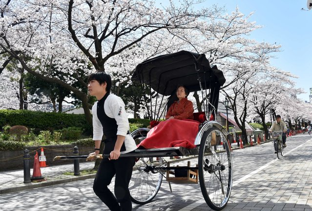 A tourist is taken for a ride in a rickshaw under fully bloomed cherry blossoms in Tokyo on March 31, 2015. Viewing of cherry blossoms is a national pastime and cultural event in Japan, where millions of people turn out to admire them annually. (Photo by Yoshikazu Tsuno/AFP Photo)