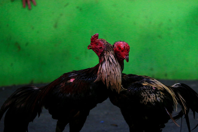 Cocks are seen during an event organised to celebrate the Lunar New Year and the year of the Rooster on the outskirts of Bangkok, Thailand January 29, 2017. (Photo by Jorge Silva/Reuters)