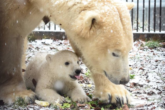 An unnamed polar bear cub is pictured with its mother, Sessi, on February 10, 2017 at the Mulhouse zoo, eastern France. The polar bear was born on November 7, 2016. (Photo by AFP Photo/APA)