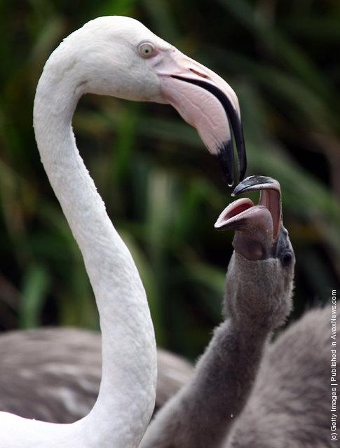 Baby Flamingoes