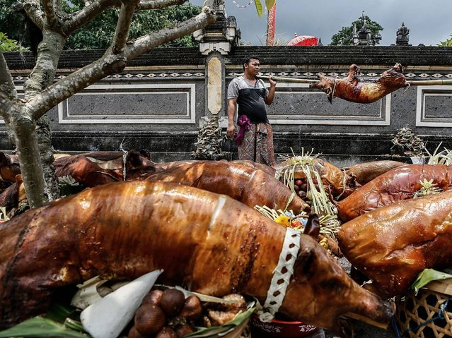 Villager searches for a place for the roasted pigs in Dalem Temple at Timbrah Village in Karangasem. (Photo by Putu Sayoga/Getty Images)