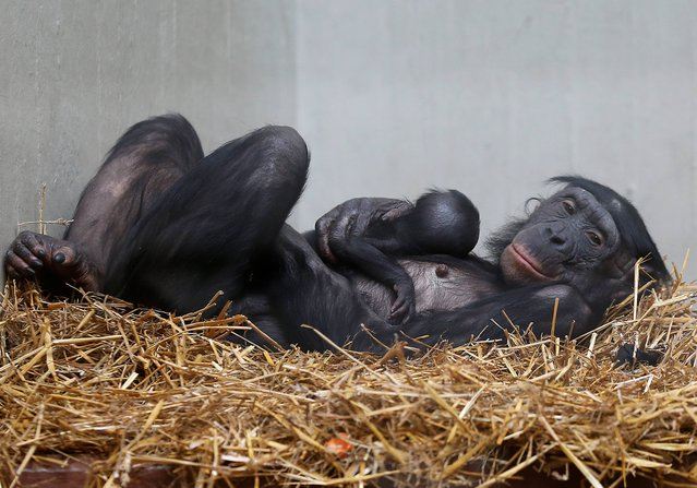 Bonobo monkey mother Muhdeblu comforts her newborn baby at the Zoo in Wuppertal, Germany, Wednesday, Feb. 26, 2014. The yet unnamed female baby was born on February 6, 2014 and supporters are asked to vote for a name. (Photo by Frank Augstein/AP Photo)