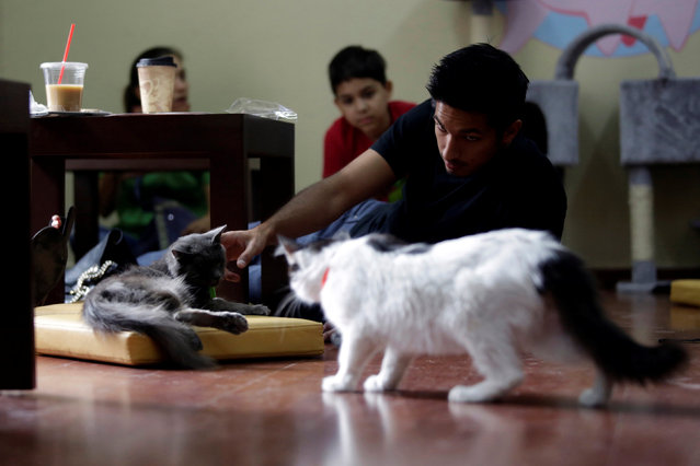 """A customer pets a cat inside """"Meow"""" cafe, where diners can play, interact or adopt cats given away by their former owners or rescued from the streets, in Monterrey, Mexico, May 14, 2016. (Photo by Daniel Becerril/Reuters)"""