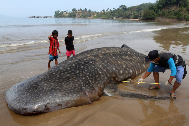 An official (R) measures the size of a whale shark (Rhincodon typus) carcass on the shore of Teluk Betung beach in West Sumatra, Indonesia, 08 October 2019. The dead whale shark washed ashore at Teluk Betung beach on 07 October 2019. (Photo by Rajo Batuah/EPA/EFE)