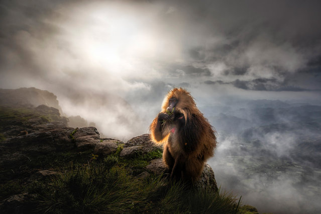 "Highly commended, mammals: Gelada after the storm – Marco Gaiotti (Italy). ""Gelada baboons are the only monkey species in the world that feed on grasses. They are native to the tableland of Ethiopia. Every morning large family groups wander from their sleeping places in the steep rock face, up to 1,000 metres high, to the feeding grounds at the tablelands. This image clearly depicts their feeding strategy: they pull out bunches of grass, sort the stalks and then lift them to their mouth. This shot was taken towards the end of the rainy season after a heavy storm"". (Photo by Marco Gaiotti/2019 GDT European Wildlife Photographer of the Year)"