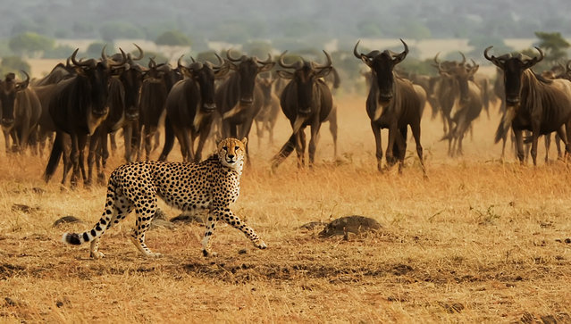 """""""Cheetah """". African Cheetah on the Masai Mara National Reserve safari in southwestern Kenya during the great wildebeest migration. Photo location: Masai Mara National Reserve, Kenya, Africa. (Photo and caption by Amy Nichole Harris/National Geographic Photo Contest)"""
