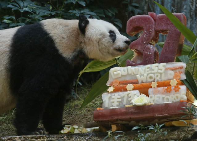 Giant panda Jia Jia tastes her birthday cake made with ice and vegetables at Ocean Park in Hong Kong, Tuesday, July 28, 2015 as she celebrates her 37-year-old birthday. (Photo by Kin Cheung/AP Photo)