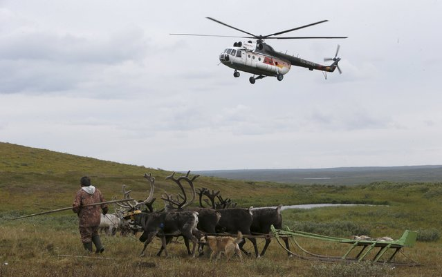 A helicopter flies above a reindeer camping ground, some 200 km (124 miles) northeast of Naryan-Mar, the administrative centre of Nenets Autonomous Area, far northern Russia, August 2, 2015. (Photo by Sergei Karpukhin/Reuters)