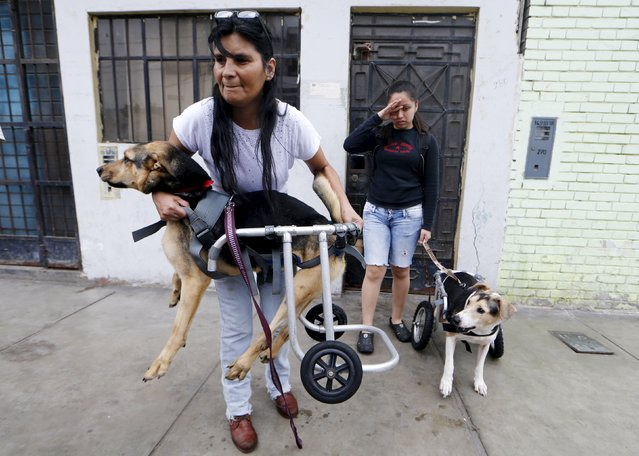 Sara Moran (L) and a dog shelter volunteer carry paraplegic dogs in wheelchairs from a shelter to go to Pescadores beach in Chorrillos, Lima, September 7, 2015. (Photo by Mariana Bazo/Reuters)