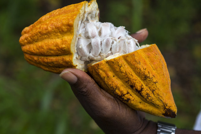 Farmer holding a freshly cut cocoa bean pod, revealing the pulp and seed inside on a rainforest farm. (Photo by Doug McKinlay/Getty Images)