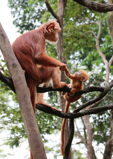 Singapore Zoo's female Javan langur lending a hand to her baby. (Photo by Wildlife Reserves Singapore)