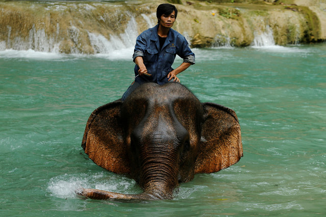 A mahout rides an elephant at Tad Sae Waterfall outside Luang Prabang, Laos July 31, 2016. (Photo by Jorge Silva/Reuters)