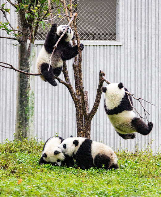 Pandas have fun at the China Conservation and Research Center for Giant Panda Shenshuping Base in Ngawa Tibetan and Qiang autonomous prefecture in southwest China's Sichuan province, 12 September 2020. (Photo by Rex Features/Shutterstock)