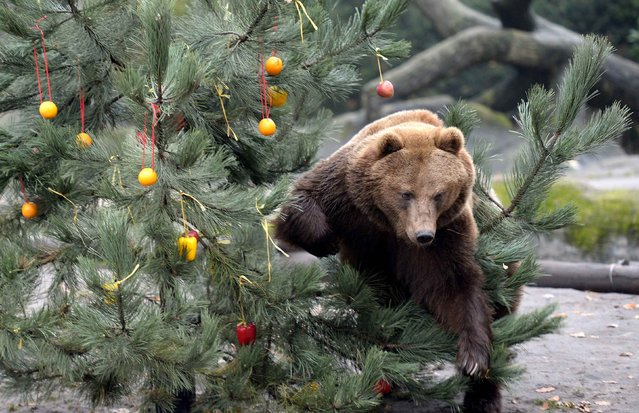 Kamchatka Brown Bear Mascha climbs through a Christmas tree, decorated with fruits and fish at Hagenbecks zoo in Hamburg, northern Germany December 5, 2014. (Photo by Fabian Bimmer/Reuters)
