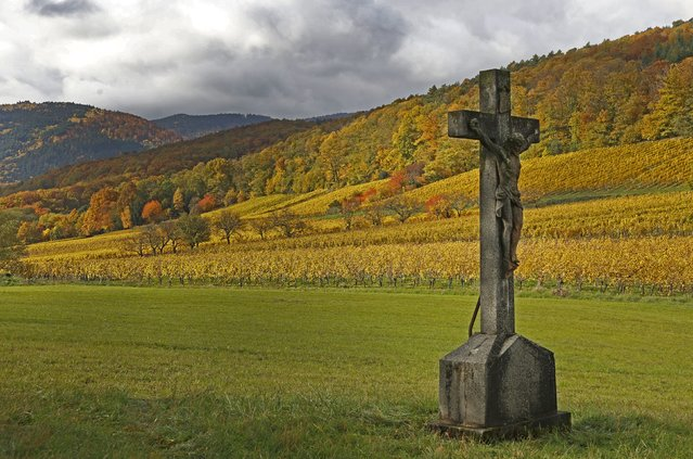 Late autumn colours in vineyards mark a change in season in Soultz in the Alsace region, eastern France, October 29, 2015. (Photo by Jacky Naegelen/Reuters)