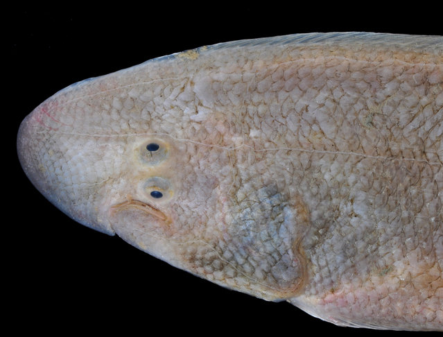 Amazing tonguefish; Straits of Johore, October 2012. (Arthur Anker)