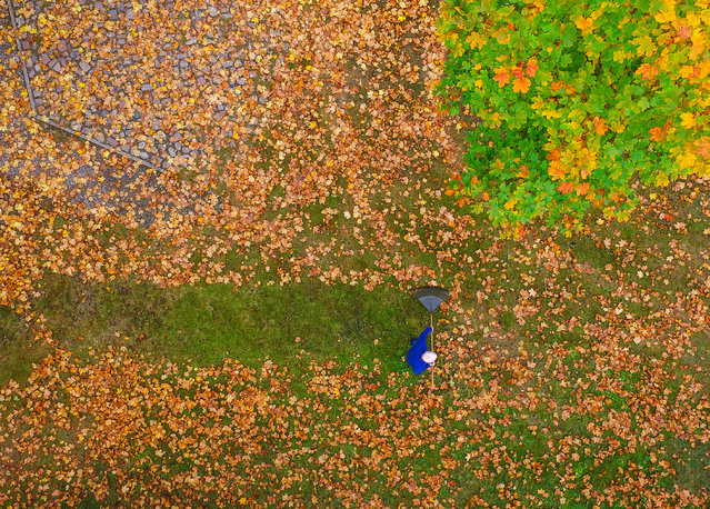 A drone picture shows a man who racks colorful autumn leaves on a meadow under a maple tree in Brandenburg, eastern Germany, on October 10, 2016. (Photo by Patrick Pleul/AFP Photo/DPA)