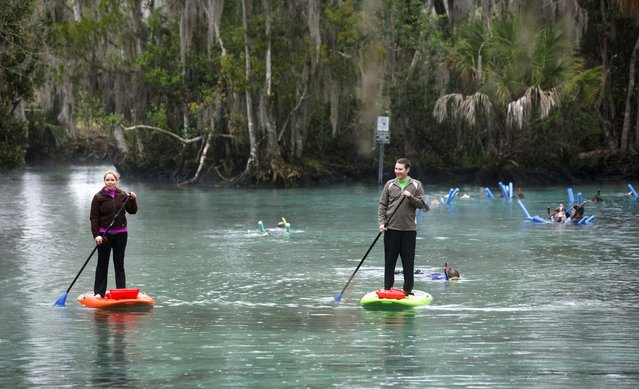 Stand up paddle boarders make there way across the waters of the Three Sisters Springs in Crystal River, Florida January 15, 2015. (Photo by Scott Audette/Reuters)
