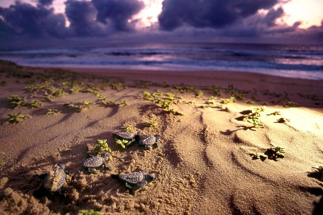 This is the incredible moment baby turtles take their first steps across the beach before swimming away in the sea in South Africa, on July 25, 2013. (Photo by Roger de la Harpe/Caters News)
