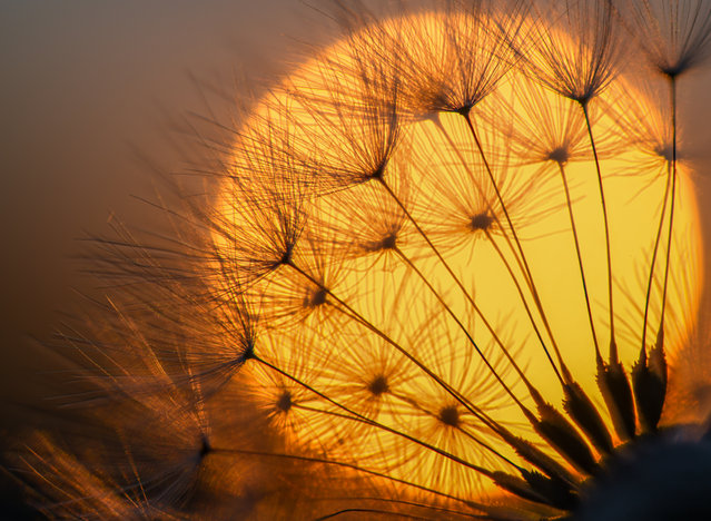 A blowball of a dandelion plant silhouettes against the setting sun on May 14, 2018 in Sieversdorf, eastern Germany. (Photo by Patrick Pleul/AFP Photo/DPA)