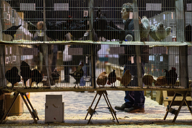 A selection of birds are seen in cages at the National Poultry Show on November 20, 2016 in Telford, England. The annual event continues to grow with around 7000 entries this year from all around the world. (Photo by Leon Neal/Getty Images)