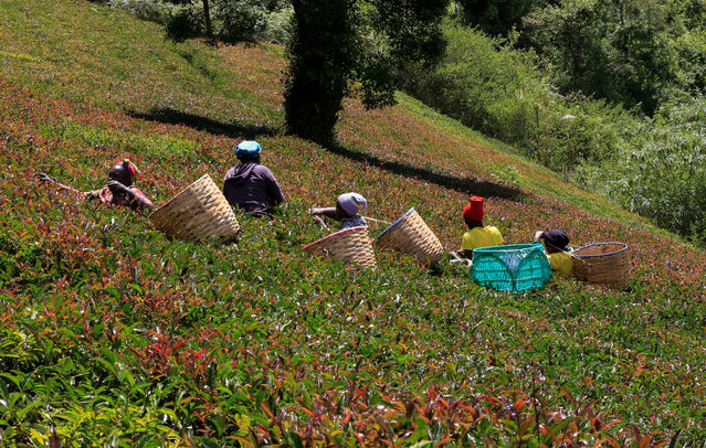 Workers pick purple tea leaves named TRFK 306/1, a clone by the Tea Research Foundation of Kenya, at the Gatura Greens purple tea plantation in Gatura settlement of Muranga county, Kenya on January 30, 2021. (Photo by Thomas Mukoya/Reuters)