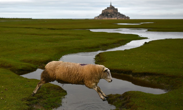 A picture taken on December 26, 2020 near Huisnes-sur-mer shows a grazing sheep on saltbush in front of the French landmark the Mont Saint-Michel in Normandy, northwestern France. (Photo by Charly Triballeau/AFP Photo)